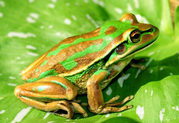 -golden-bell-frog-lance-article